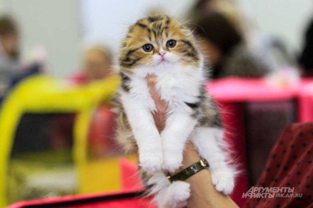 А этот котенок вислоухой шотландской кошки стал настоящей звездой выставки.