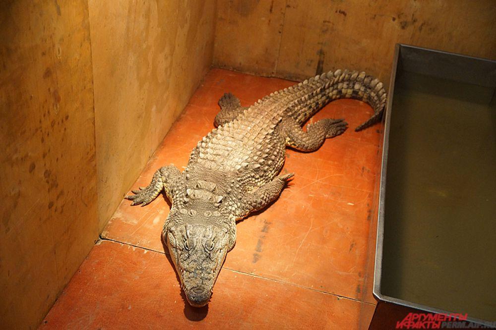 К крокодилу лучше близко не подходить!