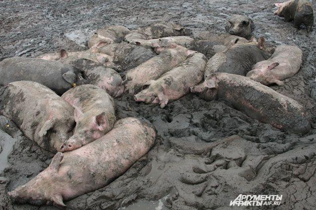 Хрюшки в грязи поваляться любят, но перед входом в свинарник под душем моются.