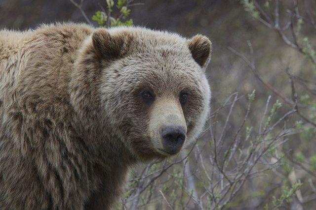 Медведя уже обнаружили и обезвредили местные жители.