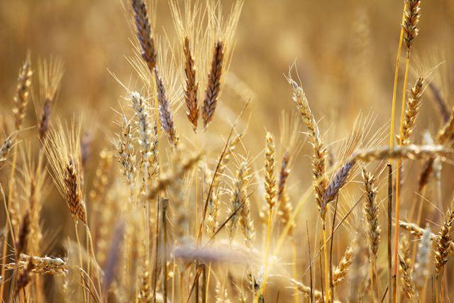 Пшеница всегда пользуется спросом на рынке.