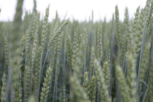 Спрос на пшеницу всегда большой.