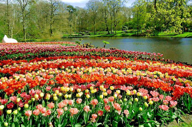 Тюльпаны на голландском парке Кёкенхоф.