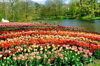 Тюльпаны в голландском парке Кёкенхоф.