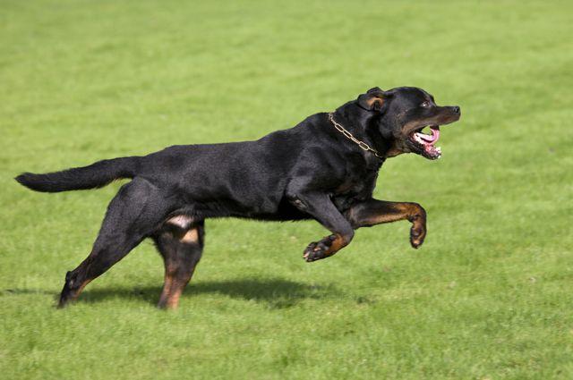 Ротвейлер загрыз собаку породы Чихуа-Хуа и покусал хозяина.