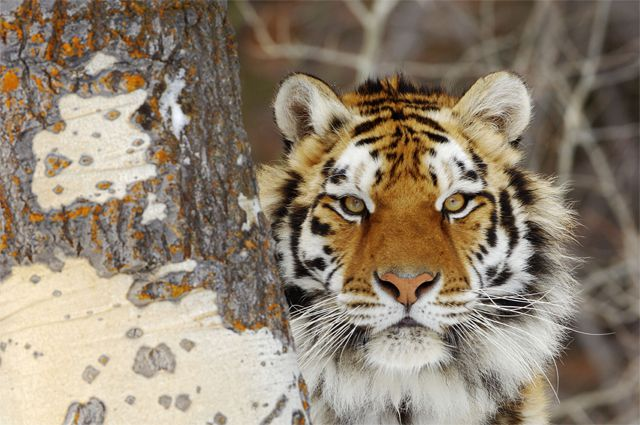 Экспертное заключение установило, что смерть амурского тигра наступила в результате огнестрельных ранений.