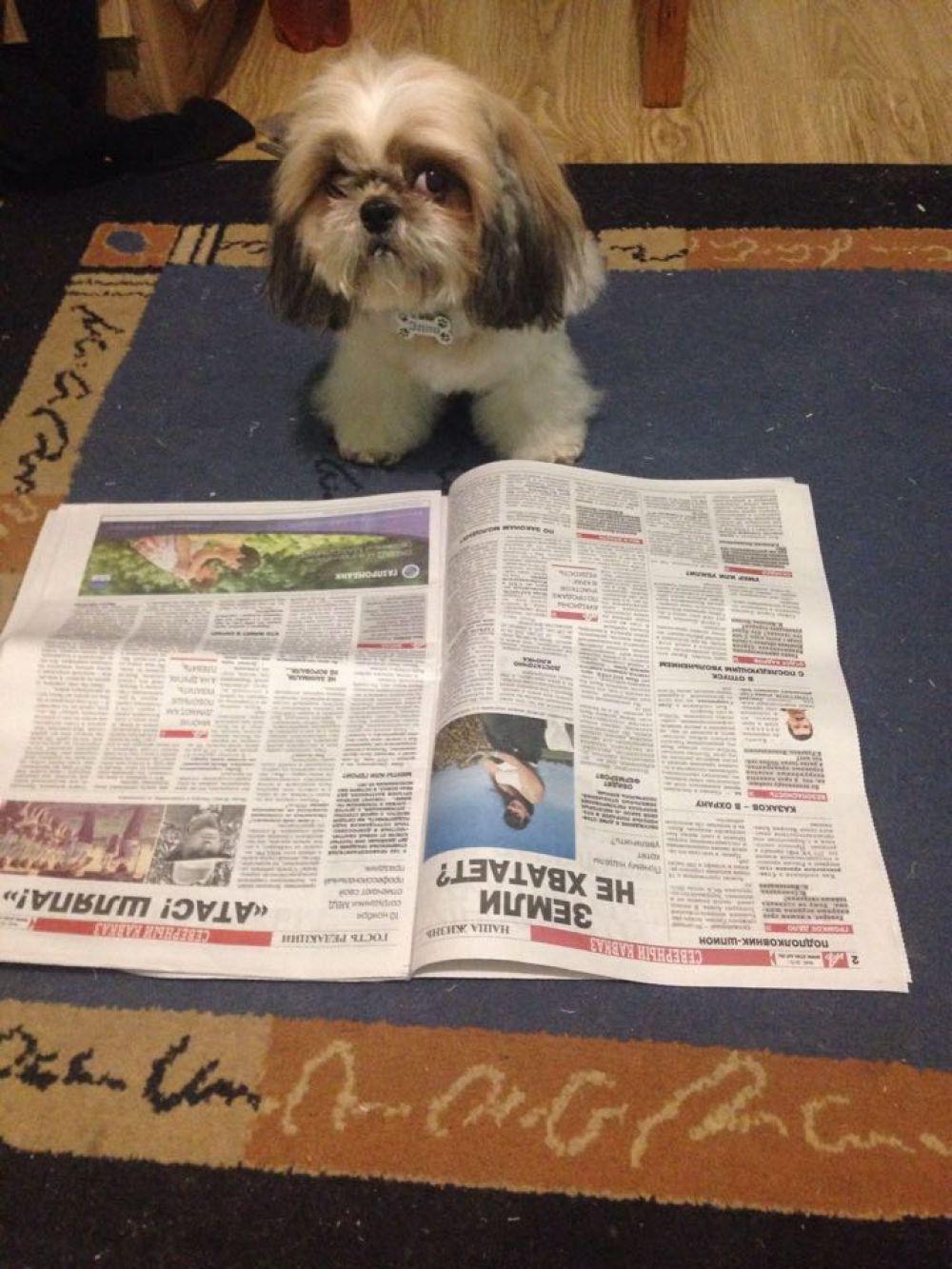 Участник №8. Ши-тцу Элли, 9 лет, любит гулять, играть, и… рассматривать картинки в «АиФ». Как и все остальные члены семьи, преданная «читательница» газеты.