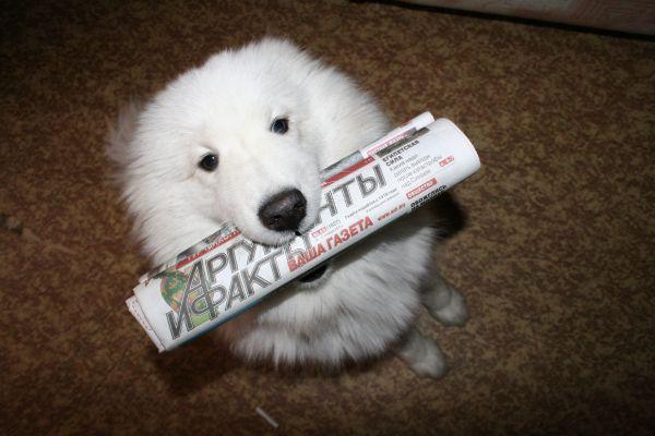 Участник №3. Арктика, самоедская собака, 2 года. Предпочитает новости из мира культуры и развлечений, анекдоты и кроссворды.