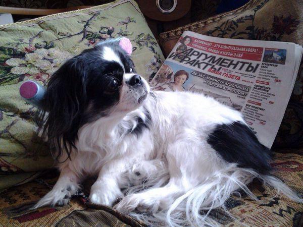Участник №6. Матильда, японский хин. Моте 9 лет. Она любит спать под одеялом, читать новости «АиФ» и целовать хозяев при встрече!