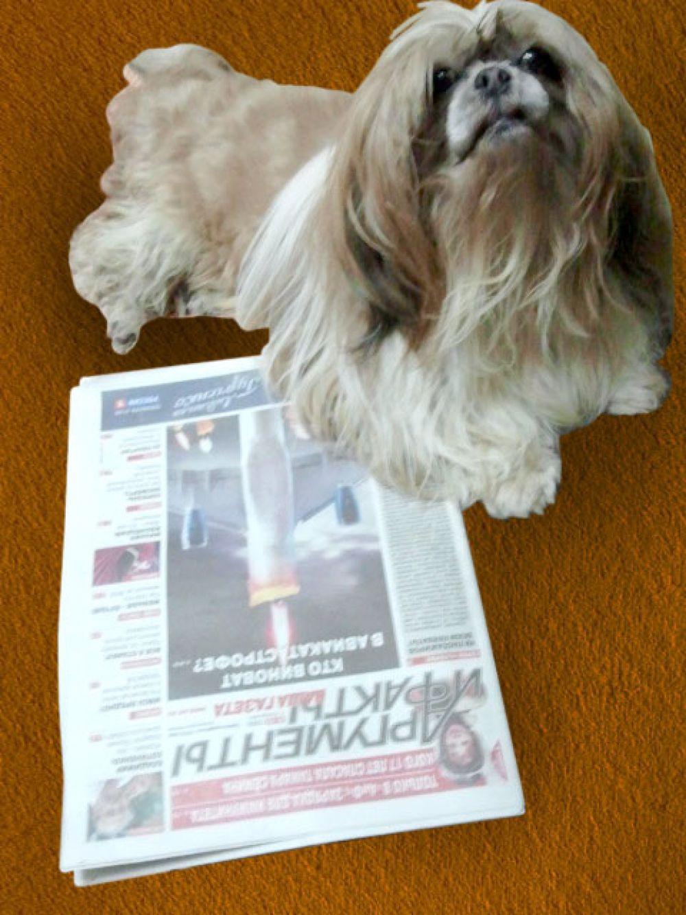 Участник №14. Марс, ши-тцу, 6 лет. Осенними вечерами вместе с хозяйкой с удовольствием проводит время за чтением газеты «АиФ».