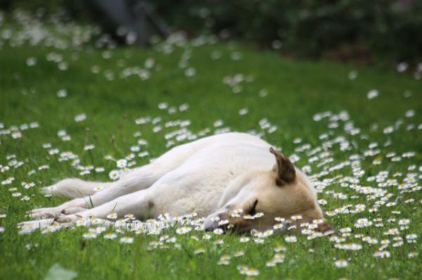 Ромашковый пес.