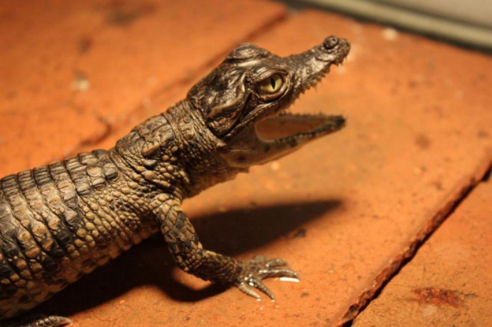 За два года Даниилу Попову удалось получить более 300 особей крокодилов.