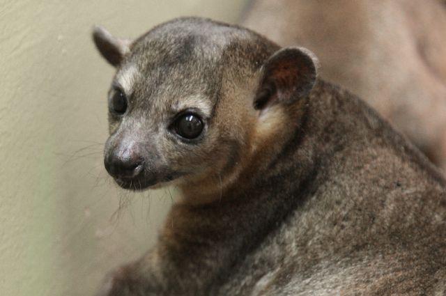 Маленького кинкажу в челябинском зоопарке назвали Дзюдо