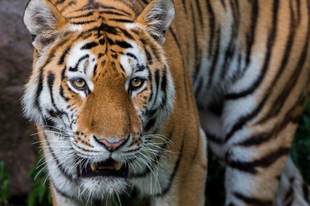 Тигр напал на охотника за пределами нацпарка.