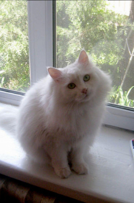 «А я весь такой белый и пушистый!» - Иван Рябов представляет своего любимца - кота Снежулю.