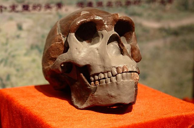 Реконструкция черепа «Пекинского человека» («синантропа»).