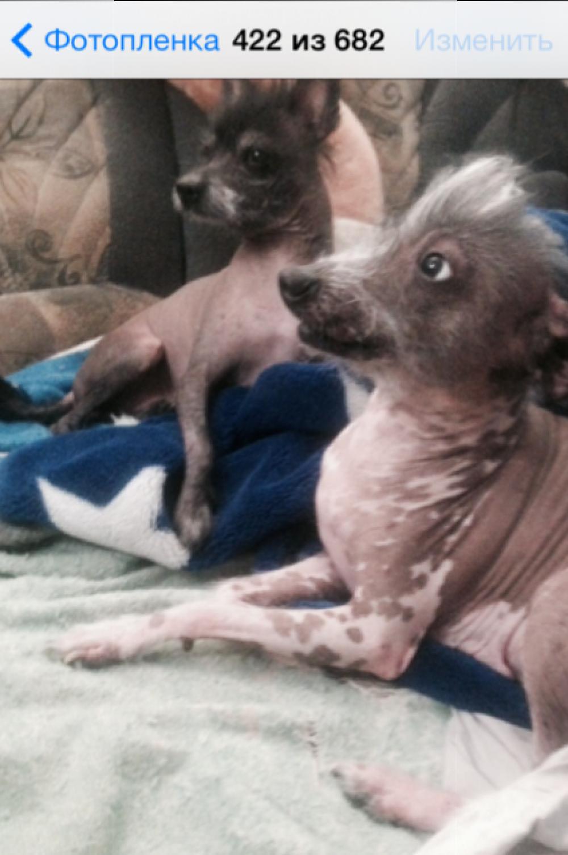 Муха и Лойда (порода - китайская хохлатая) смотрят по телевизору фильм ужасов.