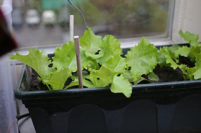 Салат как вырастить зимой на подоконнике