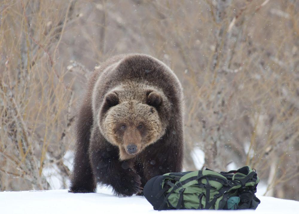 Медведи патрулируют территорию.