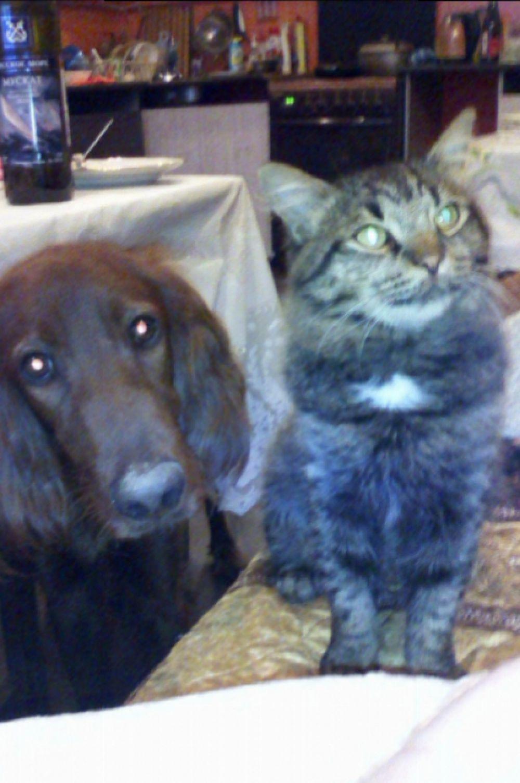 Собака Рич и кот Фисик Юлии Бессоновой в процесс выпрашивания у хозяйки своей порции шашлыка.