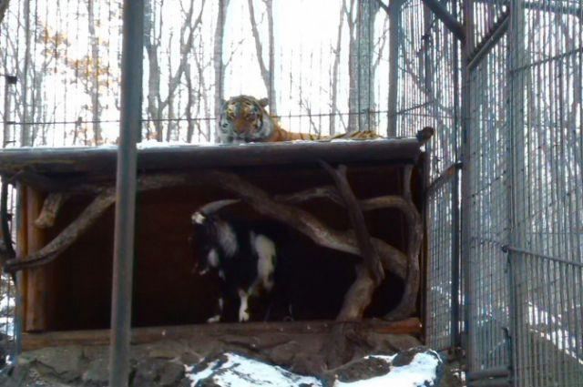 Уже четвёртые сутки Тимур сам спит на месте тигра. А вот Амуру пришлось перебраться на крышу.