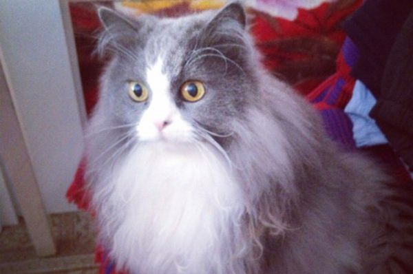 Участница №9 - Сибирско-персидская кошка Джулька