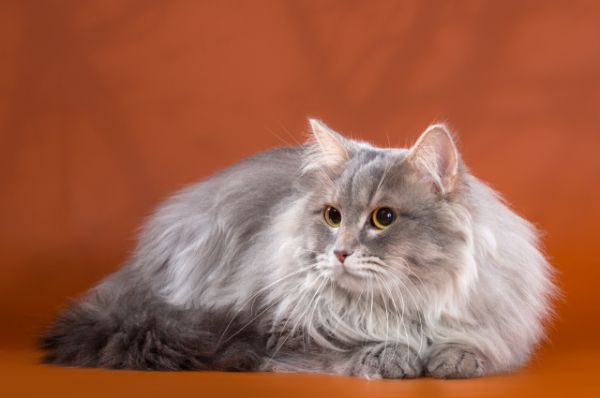 Участник №24 - Сибирский кот Юстин