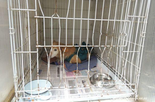 Эта собака только что перенесла операцию.