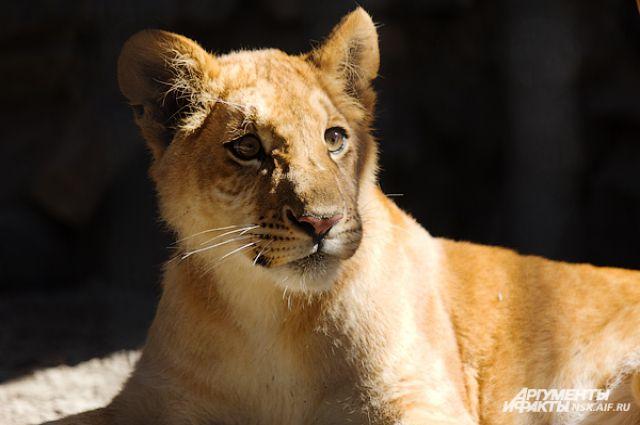 В Ивановском зоопарке обитают не обычные львы, а редкие, белые.