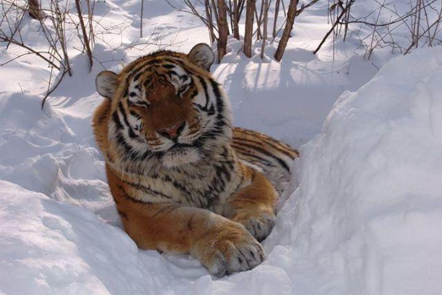 Амурский тигр находится под угрозой исчезновения.