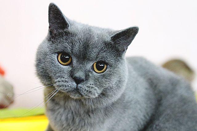 В Новосибирске ищут украденного кота