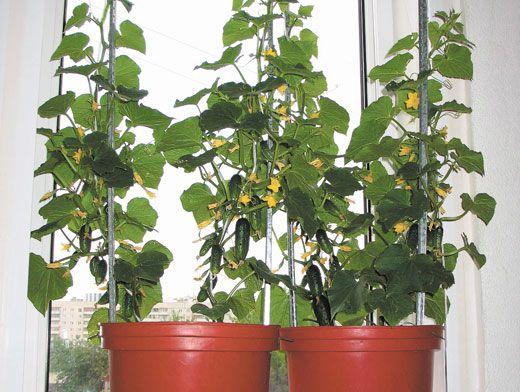 Огурец на подоконнике уход и выращивание 937
