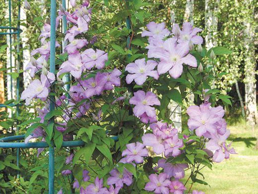 Живые цветы клематисы служба доставки цветов в ялте