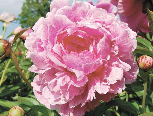Как рассадить и сохранить кусты пионов | Цветы | Дача ...: http://www.aif.ru/dacha/flowers/kak_rassadit_i_sohranit_kusty_pionov