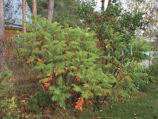 Сумах (уксусное дерево): посадка