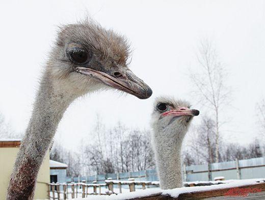 Картинки по запросу страус ферма пермь зима