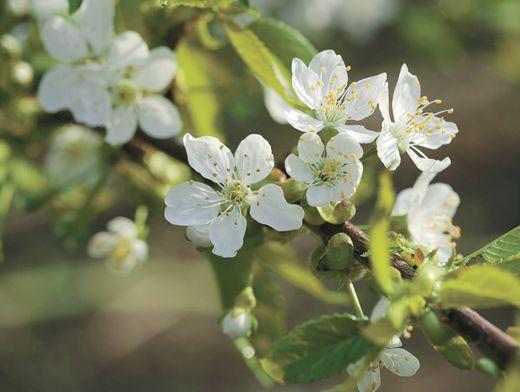 Черешня - выращивание и сорта, обрезка и уход за деревом