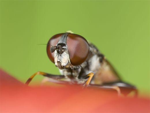 Муха которая откладывает личинки под кожу — Паразиты человека