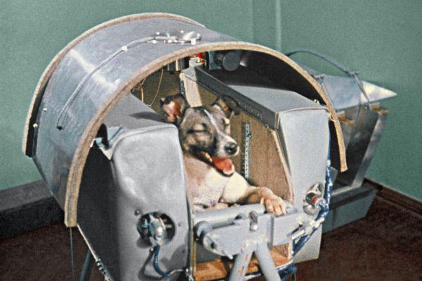 Лайку готовят к полету на втором искусственном спутнике Земли.
