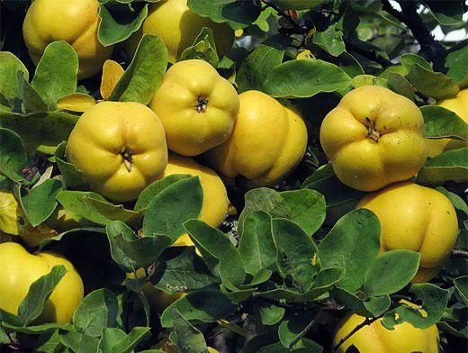 Как можно употреблять плоды японской айвы