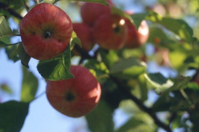 Можно ли закапывать на огороде гнилые яблоки