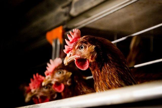 На птицефабриках куры вкусные и не заразные.