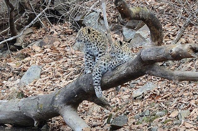 Дальневосточный леопард.