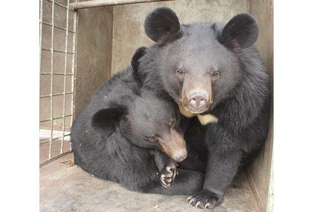 Гималайские медведи плохо переносят неволю.