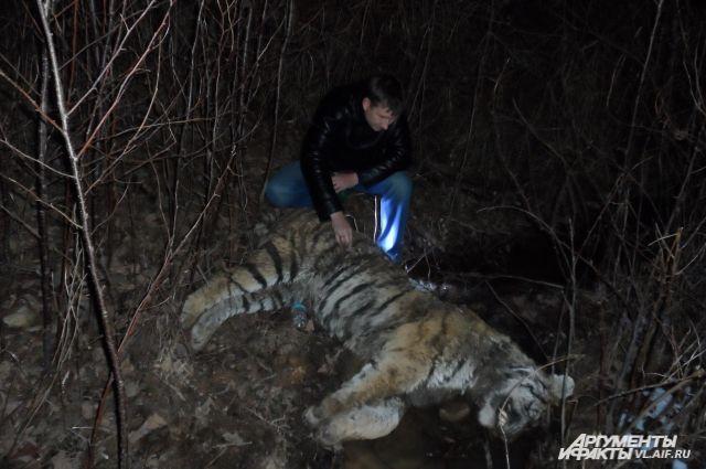 Этого убитого тигра нашли экологи.