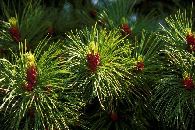 188 хвойных деревьев пострадали в результате незаконной вырубки.