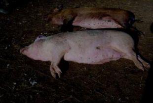 В Цимлянском районе Ростовской области введен режим ЧС по африканской чуме свиней.