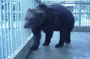 Саткинский медведь Малыш к спячке готов, но снега у вольера не видит.