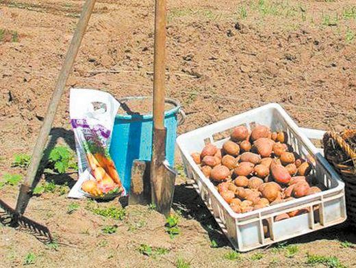 Картофель садят или сажают 71