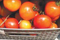 Омичи будут есть помидоры, выращенные в родном регионе.